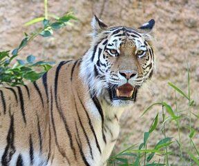 こっちを向いている虎